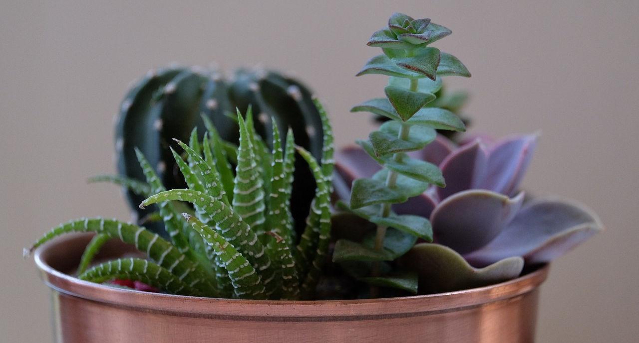 cura-delle-piante-grasse-in-casa-nf53